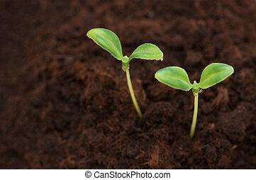 terrein, twee, groene, seedlings, groeiende, uit