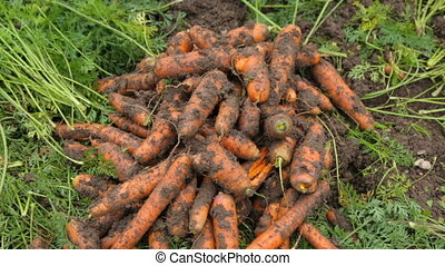 terrestre, carottes, tas
