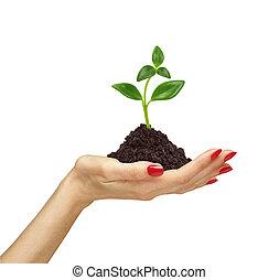 terrestre, plante, tenue, femme, gros plan, main, fond, croissant, blanc, dehors