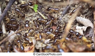 Terrestrial Termites in Extreme Closeup in Thailand - Swarm...