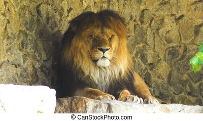 Terrible lion is dozing in nature. - Terrible lion is dozing...
