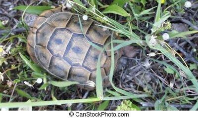 Terricole Mediterranean turtle spur-thighed tortoise -...