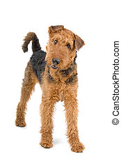 terrier airedale, cane