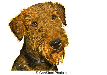 terrier airedale, cane, isolato, bianco