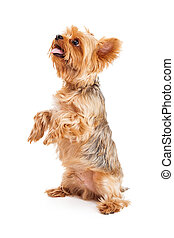 terrier, attentif, yorkshire, chiot, mendiant