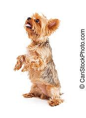 terrier, aufmerksam, yorkshire, junger hund, betteln