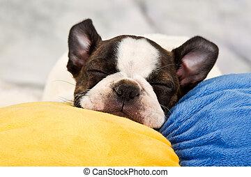 terrier boston, filhote cachorro, sono