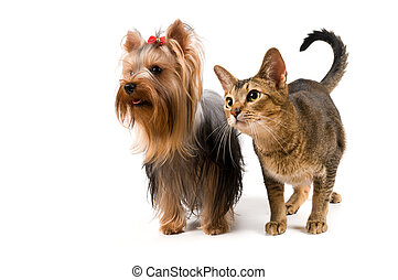 terrier, chat