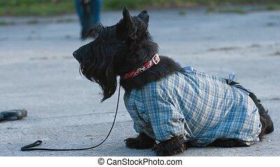 terrier, chien, écossais