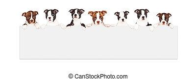 terrier de boston, perritos, encima, muestra en blanco