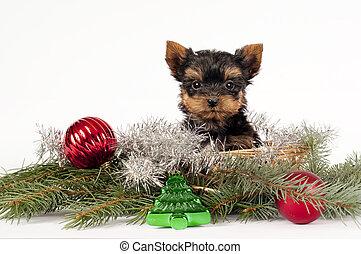 terrier de yorkshire, puppy.