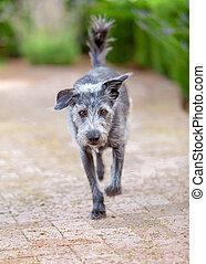 Terrier Dog Running Forward Outdoors