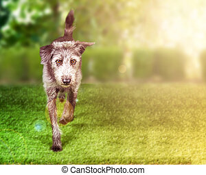 Terrier Dog Running on Grass With Copy Space