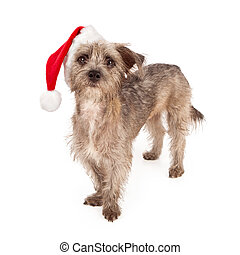 Terrier Dog Wearing Santa Hat - Terrier mixed breed dog...