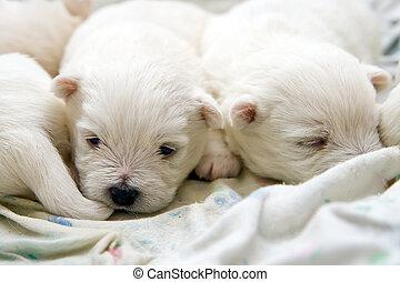 terrier, hundebabys