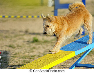 Terrier Dog Rocker at an obstacle in a test of agility.