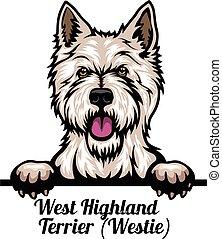 terrier, isolé, ouest, image, tête, chiens, breed., région montagneuse, fond couleur, -, chien, blanc