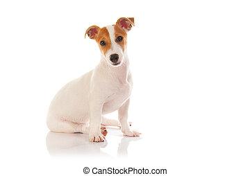 terrier, jack russell