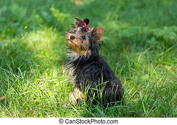 terrier, marche, chiot, parc, yorkshire