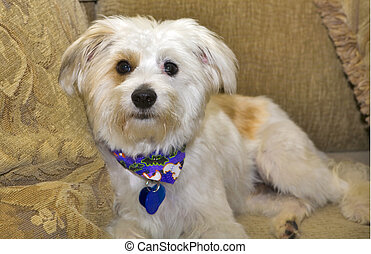 Terrier Mix - Terrier Maltese Mix Doggie sitting on a couch