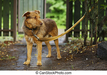 terrier mixture red nose dog on leash full body photo on summer green garden background