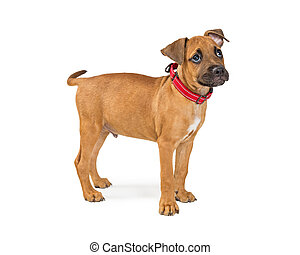 Terrier Puppy Dog Standing to Side on White
