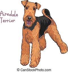 terrier, race, vecteur, airedale, croquis, chien