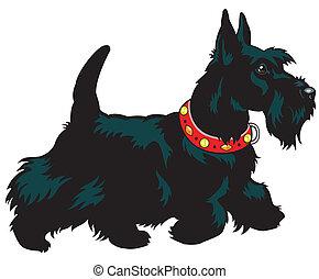 terrier, schottische