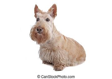 terrier, scozzese