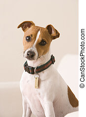 Terrier Sitting On A Chair - A terrier wearing a collar and...