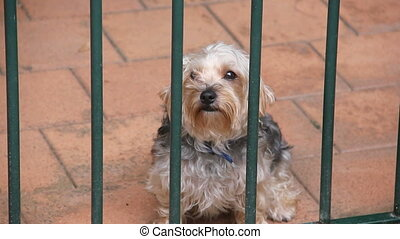 Terrier dog looks at camera through bars and stands and wags...