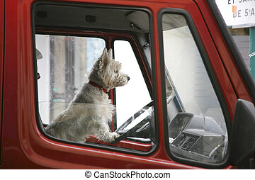terrier - White terrier at the wheel of a red truck