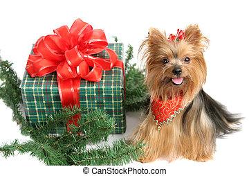 terrier, weihnachten, yorkshire