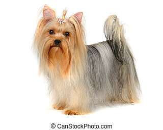 terrier yorkshire