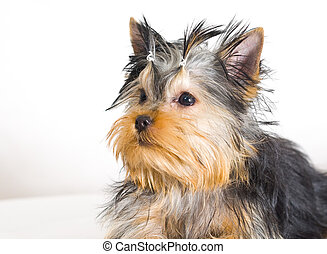 terrier yorkshire, bianco