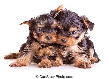 terrier yorkshire, cuccioli