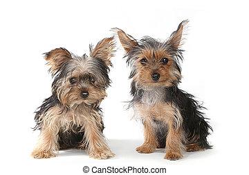 terrier yorkshire, cuccioli, seduta, bianco, fondo