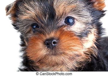 terrier yorkshire, filhote cachorro