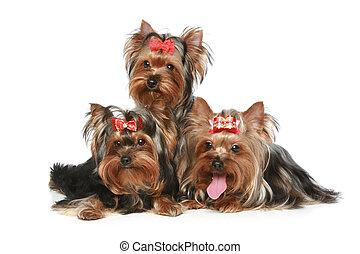 terrier yorkshire, filhotes cachorro, ligado, um, fundo branco