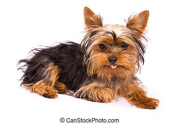 terrier, yorkshire