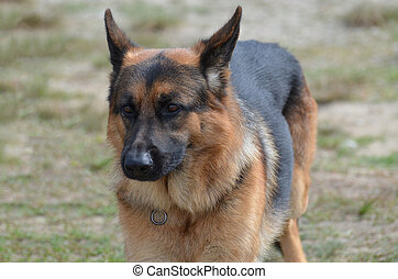 Terrific Markings on a German Shepherd Dog