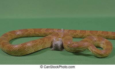 Terrifying timelapse view of scary snake preparing his prey...