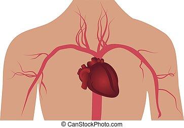 test, artéria, rendszer, emberi