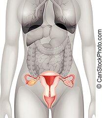 test, külső nemi szervek, női, emberi