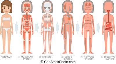 test, nő, rendszer, anatómia, emberi, szerkezet