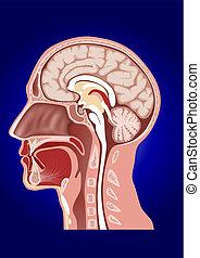 testa, anatomia