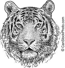 testa, illustrazione, disegno, incisione, tiger, vettore, inchiostro, art linea