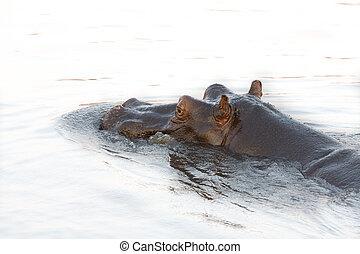 testa ippopotamo