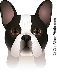 testa piana, colorito, bulldog, razza, isolato, francese, cane, fondo., portrait., bianco, spotty, cartone animato