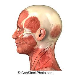 testa, sistema muscolare, anatomia, destra, vista laterale